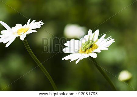 Chamomile flower with green grasshopper