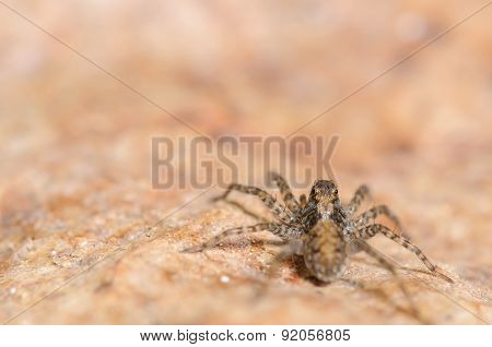 Small Brown Wolf Spider