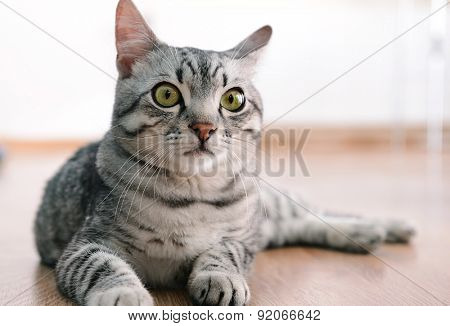 Beautiful cat lying on floor close-up