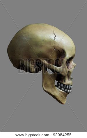 Human Skull On 50% Gray Background