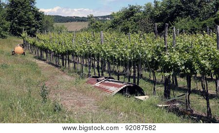 Long Vineyards In The Italian Hills