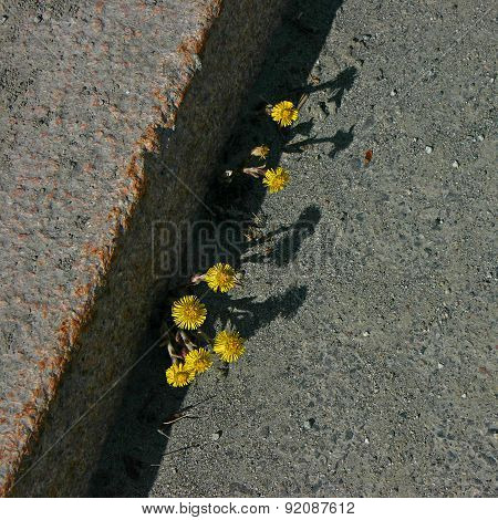 Coltsfoot in the street