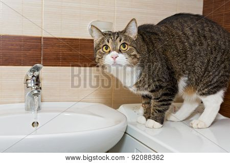 Grey Cat And Wash Basin