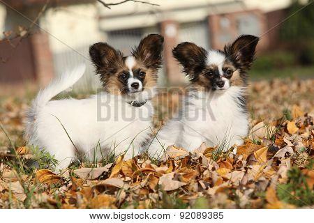 Amazing Paillon Puppies In Autumn