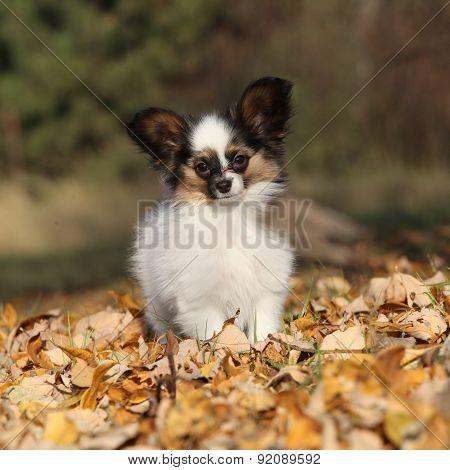 Amazing Paillon Puppy Running In Autumn