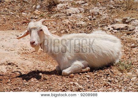 White goat, Halki island