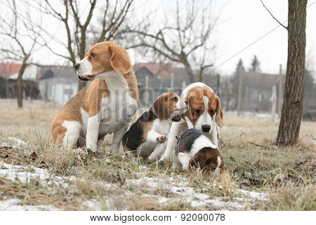 Two Adult Beagles With Two Puppies