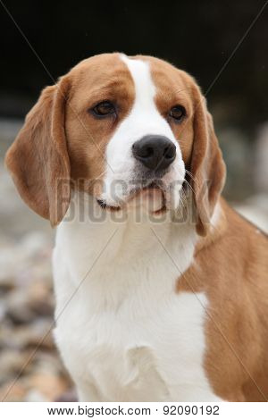 Gorgeous Beagle Looking