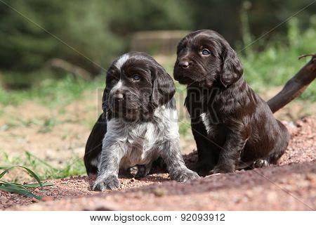 Beautiful Puppies Of German Quail Dog
