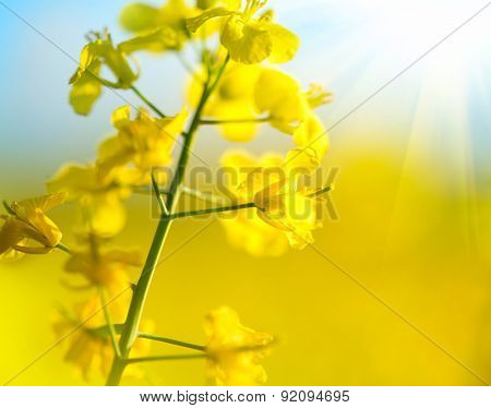 Blooming canola flowers close up. Rape on the field in summer. Bright Yellow rapeseed oil. Flowering rapeseed.