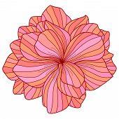stock photo of begonias  - Pink Begonia flower drawing on white background - JPG
