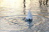 image of anus  - Swan in blue water - JPG