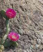 picture of cactus  - Large amazing pink cactus flower growing in a crevice of the stone - JPG