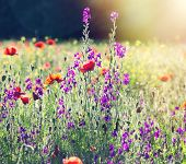 pic of poppy flower  - Poppy flowers in beautiful meadow with lots of other flowers - JPG