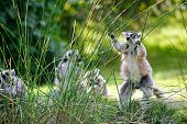 stock photo of nose ring  - Lemur choosing straw to eat with group of other lemurs in background - JPG