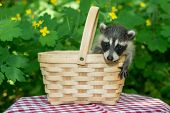 picture of raccoon  - An adorable baby raccoon in a picnic basket - JPG
