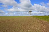 picture of ashes  - a newly planted springtime pea field on the yorkshire wolds england with a lone ash tree and farm track under a blue cloudy sky - JPG