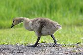 picture of baby goose  - A little Canada Goose   - JPG
