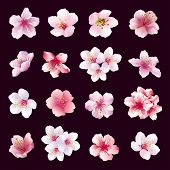 ������, ������: Set Of Flowers Of Cherry Tree Isolated