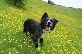 picture of border collie  - Blue merle border collie ready and waiting on an incline - JPG