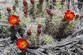 picture of prickly-pear  - A natural background pattern of flowering prickly pear cactrus and weathered wood from Joshua Tree National Park California - JPG