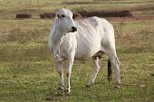 picture of zebu  - cattle nelore on green pasture in brazilian farm - JPG