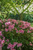 picture of azalea  - Sunlight shines thrugh leaves with pink Azaleas in full bloom below - JPG