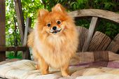 stock photo of pomeranian  - cute pomeranian dog portrait at home puppy - JPG