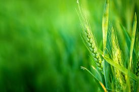 pic of headings  - Green Wheat Head in Cultivated Agricultural Field Early Stage of Farming Plant Development Selective Focus with Shallow Depth of Field - JPG