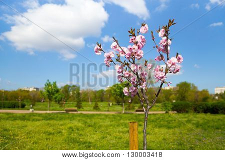 Pretty pink spring blossom on a Prunus serrulata sapling or Japanese flowering cherry planted in a rural field or garden cultivated for its ornamental flowers