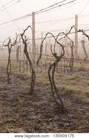 Vine trees in vineyard in spring morning