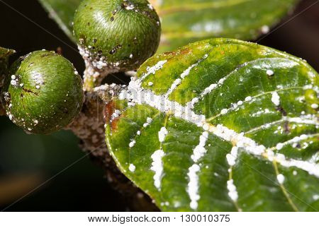 Mealybug on leaf figs. Plant insect infestation