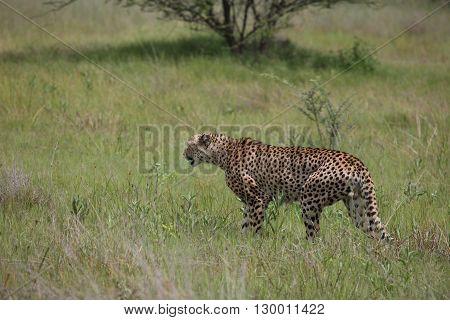 Cheetah Botswana Africa savannah wild animal picture;