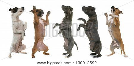 staffordshire bull terrier standing up in front of white background
