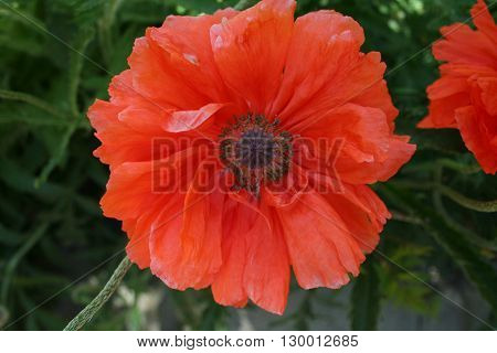 Poppy Flower In The Spring Garden