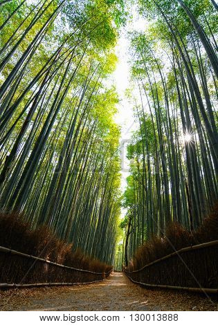 Looking up at the bamboo forest of Arashiyama in Kyoto with sun rays streaming through
