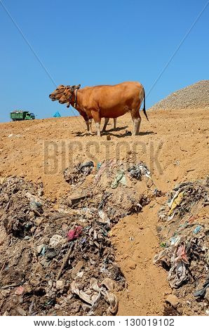 Cows scavenge for food amid hazardous waste and toxic trash as a garbage truck unloads at the biggest and most polluted landfill site on the holiday resort island of Bali Indonesia.