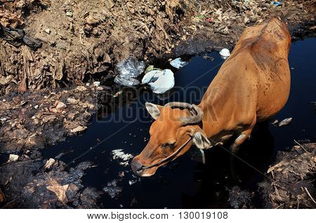 A cow drinks highly contaminated water from a river next to hazardous waste and toxic trash at the biggest and most polluted landfill site on the holiday resort island of Bali Indonesia.