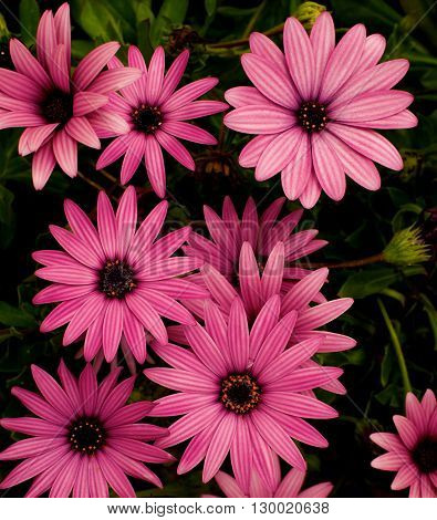 Beauty Magenta Garden Daisy Flowers on Blurred Flower and Leafs background Outdoors