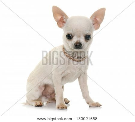 puppy chihuahua in front of white background