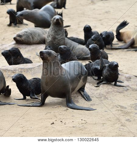 Cape Fur Seals On Cape Cross, Namibia