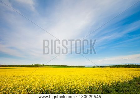 Beautiful spring landscape in Poland - sunny rape blooming rape field near Cracow.