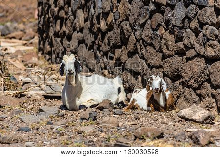 Two Laying Goats - Fuerteventura Canary Islands Spain