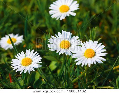 Daisy flower background. macro of beautiful white daisies flowers