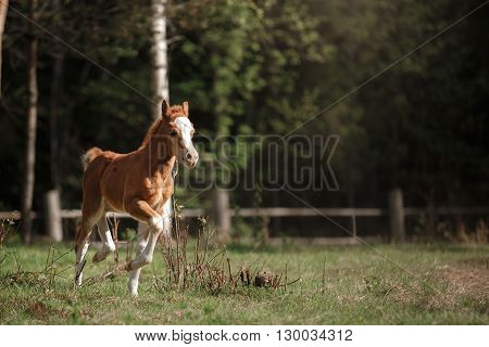A pretty foal stands in a Summer paddock Foal playing in a meadow