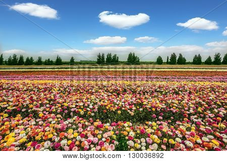 Spring flowering buttercups. Israel Kibbutz. The magnificent flower carpet of colorful garden buttercups close to the border