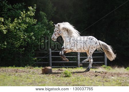 knabstrup appaloosa horse trotting in a meadow appaloosa horse a white horse with black spots running