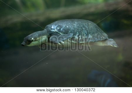 Pig-nosed turtle (Carettochelys insculpta), also known as the Fly River turtle. Wild life animal.