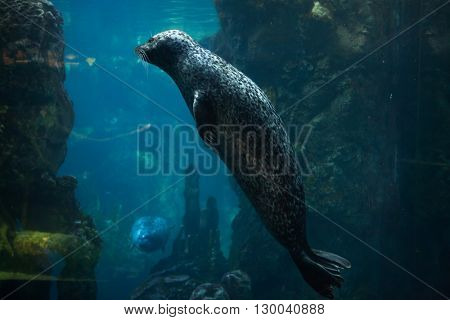 Harbor seal (Phoca vitulina), also known as the common seal. Wild life animal.