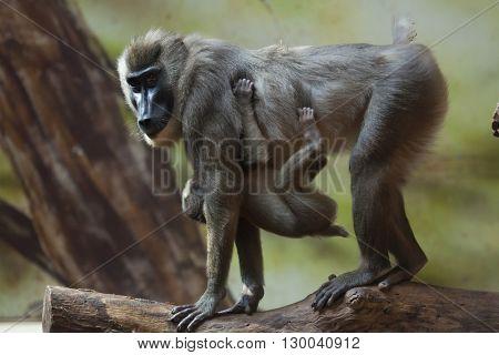Drill monkey (Mandrillus leucophaeus) with a baby. Wild life animal.